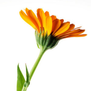 https://floramaine.com/wp-content/uploads/2017/02/cropped-Calendula-3.jpg
